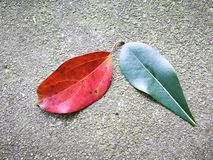 Red leaf and green leaf on the ground Stock Image
