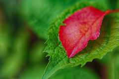 Red leaf on green leaf Stock Photography