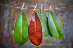 Red leaf and Green Leaves on Clothes Line. A special red leaf amongst three green leaves hanging on a clothes line royalty free stock photography