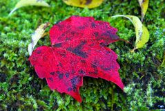 Red leaf green moss Royalty Free Stock Images