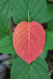 Red Leaf on Green Plant. A red leaf set against a small plant in the Pisgah National Forest Royalty Free Stock Photo