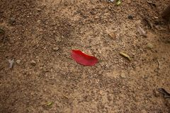 Red leaf. On the ground Stock Image