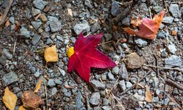 A Red leaf on the ground during autumn fall season at mount lofty botanical gardens south australia on 16th April 2019. Red leaf on the ground during autumn fall stock photography