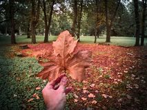 A red leaf on the hand royalty free stock photography