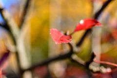 Red leaf hanging on tree. A red leaf hanging on a tree in autumn Royalty Free Stock Images
