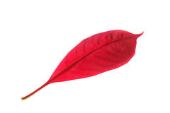 Red leaf isolate on white Royalty Free Stock Image