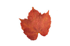 Red leaf isolated Stock Photography
