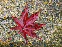Red leaf of japanese maple Royalty Free Stock Photo