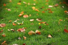 Red leaf leaves maple on green grass lawn in summer spring autumn fall winter park garden at sunny day. Red leaf leaves maple on green grass lawn in summer stock photo