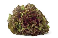 Red leaf lettuce stock image