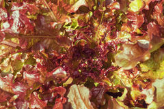 Red Leaf Lettuce. A close up of red leaf lettuce in the home garden royalty free stock image