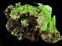 Red Leaf Lettuce. A head of Red Leaf Lettuce on a black backdrop royalty free stock photography