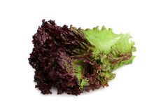 Red leaf lettuce. Royalty Free Stock Photography