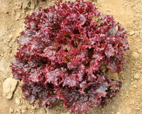 Red leaf lettuce Royalty Free Stock Photography
