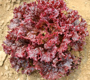 Red leaf lettuce Stock Images