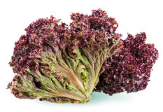 Red leaf lettuce Royalty Free Stock Image