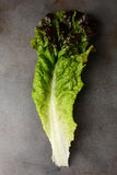 Red Leaf Lettuce Stock Photography