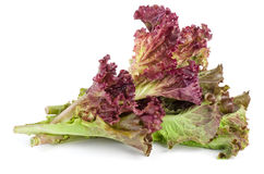 Red leaf lolo rosso lettuce Royalty Free Stock Photography
