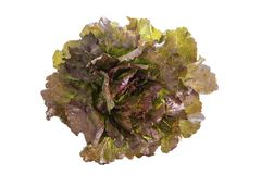 Red leaf lolo rosso lettuce isolated on the white background. Red leaf lolo rosso lettuce isolated on white background Royalty Free Stock Photography
