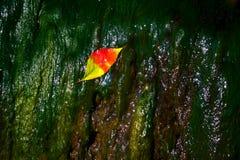 Red leaf lying wet shine. Green algae Royalty Free Stock Images