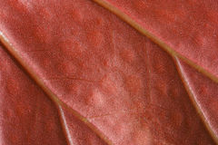 Red leaf macro Stock Photography