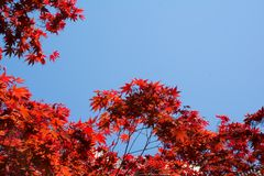 Red leaf Maple abstract. Red leaf maple tree against blue sky Stock Photo
