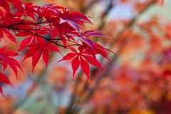 Red, Leaf, Maple Leaf, Autumn Royalty Free Stock Photography
