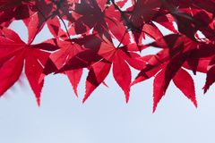 Red, Leaf, Maple Leaf, Tree Stock Photos
