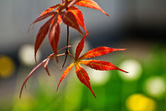 Red leaf of maple. In outdoor stock photos