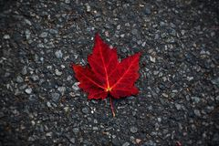 Red leaf. Red maple leaf on road Stock Images