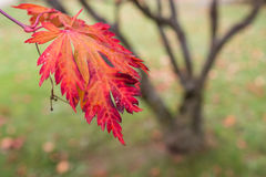 Red leaf of a maple tree  (Acer palmatum) Royalty Free Stock Photography