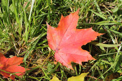 The red leaf of a maple which fell to a grass. In the fall stock photography