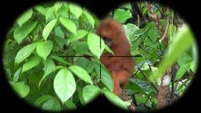 Red leaf monkey presbytis rubicunda seen through binoculars. Watching animals at wildlife safari. Shot with a Sony a6300 fps 29,97 4k stock video footage