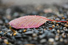 A red leaf and more water drops. A red leaf lie on the land and black stones stock image
