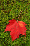 Red leaf on moss Stock Photos