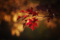 Red, Leaf, Nature, Maple Leaf Royalty Free Stock Photos