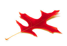 Red leaf of oak Stock Images