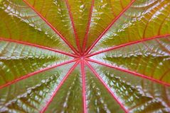 Red leaf of palmchrist texture Stock Photography