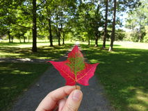 Red leaf in park upright. Autumn red maple leaf in green park Royalty Free Stock Images