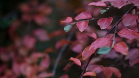 Red Leaf Plant Royalty Free Stock Image
