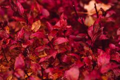 Red Leaf Plant Stock Photos