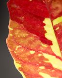 Red leaf on the plant as a background. Macro Royalty Free Stock Photography