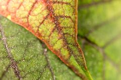 Red leaf on the plant as a background. Macro Stock Images