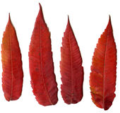 Red leaf plant autumn Royalty Free Stock Images