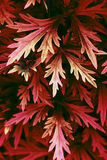 Red leaf plant close up photo. Fantastic alien red leaf plant close up photo Royalty Free Stock Images