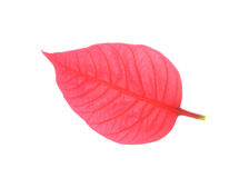 Red leaf of poinsettia christmas royalty free stock images