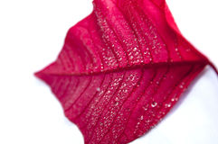 Red leaf with drops Royalty Free Stock Photos