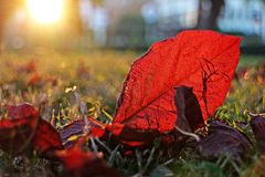 Red leaf, red leaf and sunset light Royalty Free Stock Images