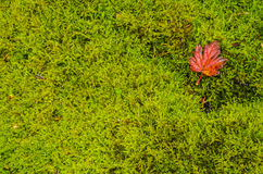 Red leaf resting on moss. Bright red leaf resting of Bright lush green moss Royalty Free Stock Photos