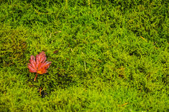 Red leaf resting on moss. Bright red leaf resting of Bright lush green moss Royalty Free Stock Image